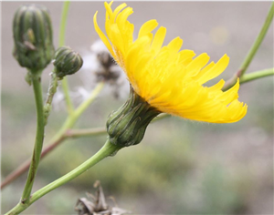 Perennial Sow Thistle